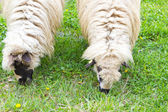 Two sheeps breeding on summer field — Foto Stock