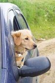 Young dog looking through car side window — Zdjęcie stockowe