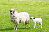 Sheep and white lamb on field — Stock Photo
