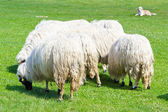 Sheeps on green grass — Foto de Stock