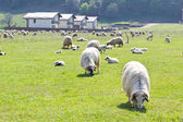 Sheeps on green grass — Stock Photo