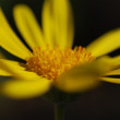 Stock Photo: Yellow Marguerite