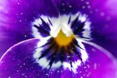 Viola Flower — Stock Photo