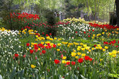 A flower bed  tulips — Stock Photo