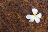 Plumeria Flowers on rock — Stock Photo