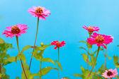Zinnia blomma — Stockfoto
