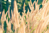 White reeds field — Stock Photo