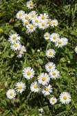 Daisy Bellis flowers — Stock Photo