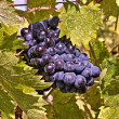 Grapes of Chianti — Stock Photo #37848689