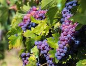 Grapes of Tuscany — Stock Photo
