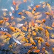 Variegated carps swimming in the lake — Stock Photo #37538249