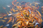 Variegated carps swimming in the lake — Stock Photo