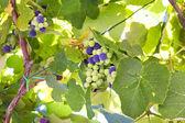 Uvas en la vid — Foto de Stock