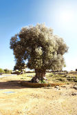 Olive tree in Sicily — Stock Photo