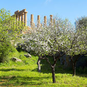 Almond tree and Temple of Juno — Stock Photo