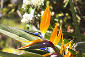 Strelitzia reginae — Стоковое фото