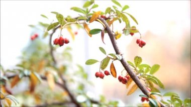 Rosehip Berries. Autumn — Stock Video