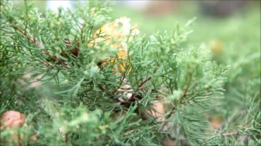 Green pine — Stock Video