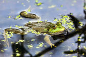 Marsh Frog — Stock Photo