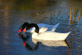 Black-necked Swans (cygnus melancoryphus) — Stock Photo