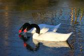 Black-necked Swans (cygnus melancoryphus) — Stockfoto