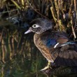 Wood duck (Aix sponsa) — Stock Photo