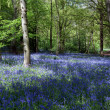 Bluebells in Staffhurst Woods near Oxted Surrey — Stock Photo #38225337