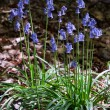 Clump of Bluebells — Stock Photo #38225381