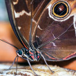 Stock Photo: Blue Morpho Butterfly ( morpho peleides) feeding on some rotting