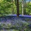 Bluebells in Staffhurst Woods near Oxted Surrey — Stock Photo #38225617