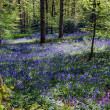 Bluebells in Staffhurst Woods near Oxted Surrey — Stock Photo #38225653