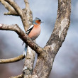 Chaffinch perched on branch — Stock Photo #38225969
