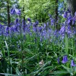 Bluebells in Staffhurst Woods near Oxted Surrey — Stock Photo #38226017