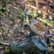 Stock Photo: Hedge Accentor