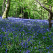 Bluebells in Staffhurst Woods near Oxted Surrey — Stock Photo #38227285