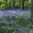 Bluebells in Staffhurst Woods near Oxted Surrey — Stock Photo #38227487