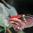 Stock Photo: PostmButterfly (heliconius melpomene)