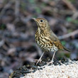 Song Thrush — Stock Photo
