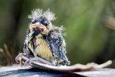 Blue Tit (cyanistes caeruleus) fledgling — Stock Photo