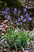 A clump of Bluebells — Stock Photo