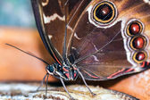 Blue Morpho Butterfly ( morpho peleides) feeding on some rotting — Stock Photo