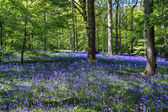 Bluebells in Staffhurst Woods near Oxted Surrey — Stock Photo