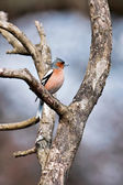 Chaffinch perched on a branch — Zdjęcie stockowe
