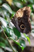 Owl Butterfly (caligo memnon) — Stock Photo