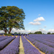 Lavender field in Banstead Surrey — Stock Photo #38259921