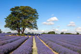 Lavender field in Banstead Surrey — Stock Photo