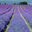 Lavender field in Banstead Surrey — Stock Photo #38262363