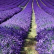 Lavender field in Banstead Surrey — Stock Photo #38262477