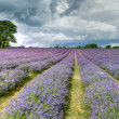 Lavender field in Banstead Surrey — Stock Photo #38262509