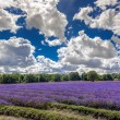 Lavender field in Banstead Surrey — Stock Photo #38262675
